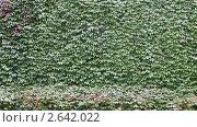 Купить «Заросшая плющом стена», видеоролик № 2642022, снято 25 сентября 2010 г. (c) Алексей Кузнецов / Фотобанк Лори
