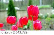 Купить «Тюльпаны на ветру», видеоролик № 2643782, снято 7 июля 2011 г. (c) Валерий Шилов / Фотобанк Лори