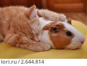 Купить «Рыжий котенок спит, обняв рыжую морскую свинку», фото № 2644814, снято 23 марта 2010 г. (c) Лада Иванова / Фотобанк Лори
