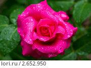 Роза после дождя. Стоковое фото, фотограф Иван Оленичев / Фотобанк Лори