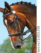 Купить «Конные соревнования по выездке - портрет гнедой лошади», фото № 2653318, снято 1 июля 2011 г. (c) Абрамова Ксения / Фотобанк Лори