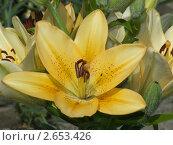 Желтая лилия. Стоковое фото, фотограф Олег Яковлев / Фотобанк Лори