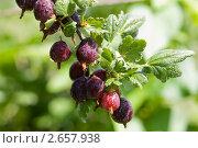 Ветка крыжовника со спелыми ягодами. Стоковое фото, фотограф Екатерина Жукова / Фотобанк Лори