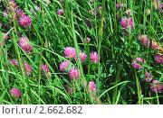 Купить «Клевер луговой (Trifolium pratense)», эксклюзивное фото № 2662682, снято 28 июня 2009 г. (c) Алёшина Оксана / Фотобанк Лори