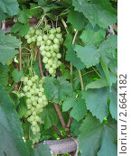 Белый виноград на лозе. Стоковое фото, фотограф Кашкарева Светлана / Фотобанк Лори