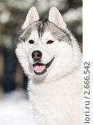 Купить «Сибирский хаски зимой», фото № 2666542, снято 15 сентября 2019 г. (c) Дмитрий Калиновский / Фотобанк Лори