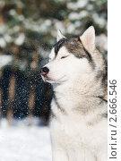 Купить «Сибирский хаски зимой», фото № 2666546, снято 10 ноября 2018 г. (c) Дмитрий Калиновский / Фотобанк Лори