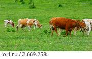 Купить «Коровы на пастбище», видеоролик № 2669258, снято 21 июня 2011 г. (c) Михаил Коханчиков / Фотобанк Лори