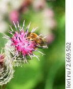 Пчела на цветке лопуха. Стоковое фото, фотограф Щеголева Ольга / Фотобанк Лори