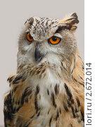 Купить «Филин.Портрет. (Bubo bubo).», фото № 2672014, снято 19 июня 2011 г. (c) Роман Рожков / Фотобанк Лори
