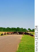 Стадо коров переходит через дорогу. Стоковое фото, фотограф Ирина Юрченкова / Фотобанк Лори