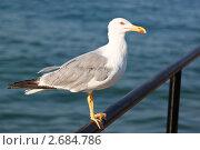 Купить «Средиземноморская чайка», фото № 2684786, снято 25 июля 2011 г. (c) Карданов Олег / Фотобанк Лори
