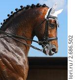 Купить «Конные соревнования по выездке - портрет темно-гнедой лошади», фото № 2686502, снято 1 июля 2011 г. (c) Абрамова Ксения / Фотобанк Лори
