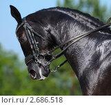 Купить «Конные соревнования по выездке - портрет вороной лошади», фото № 2686518, снято 1 июля 2011 г. (c) Абрамова Ксения / Фотобанк Лори