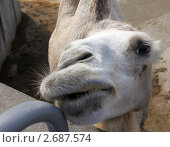 Верблюд. Стоковое фото, фотограф Ринат Гайсин / Фотобанк Лори