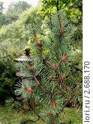 Сосна в японском садике. Стоковое фото, фотограф Павел Красихин / Фотобанк Лори