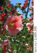 Красный цветок мальвы. Стоковое фото, фотограф Юрий Караваев / Фотобанк Лори