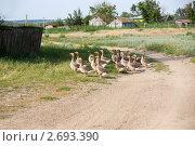 Стадо гусей у деревенской дороги. Стоковое фото, фотограф Борис Панасюк / Фотобанк Лори
