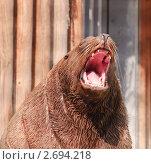 Купить «Ревущий сивуч или северный морской лев (Eumetopias jubatus)», эксклюзивное фото № 2694218, снято 19 июля 2011 г. (c) Алёшина Оксана / Фотобанк Лори