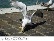 Чайка. Стоковое фото, фотограф Соколик Виктор / Фотобанк Лори