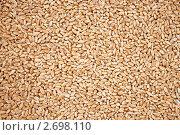 Купить «Зерна пшеницы», фото № 2698110, снято 4 августа 2011 г. (c) Александр Романов / Фотобанк Лори