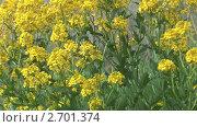 Купить «Цветы сурепки колышутся на ветру», видеоролик № 2701374, снято 17 июня 2011 г. (c) Андрей Некрасов / Фотобанк Лори
