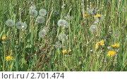 Купить «Одуванчики на лугу», видеоролик № 2701474, снято 14 июня 2011 г. (c) Андрей Некрасов / Фотобанк Лори
