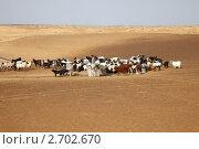 Стадо на водопое в пустыне. Каракумы (2009 год). Редакционное фото, фотограф Наталья Громова / Фотобанк Лори
