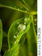 Купить «Капли воды на листьях люпина», фото № 2704206, снято 25 июня 2011 г. (c) Сергей Лаврентьев / Фотобанк Лори