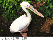 Пеликан. Стоковое фото, фотограф Клепова Светлана / Фотобанк Лори