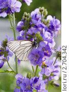 Купить «Бабочка Боярышница на цветке Синюхи голубой», фото № 2704342, снято 24 июня 2011 г. (c) Катерина Макарова / Фотобанк Лори