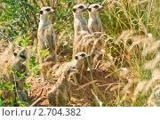 Купить «Сурикаты (Suricata suricatta)», фото № 2704382, снято 12 июля 2011 г. (c) Алёшина Оксана / Фотобанк Лори