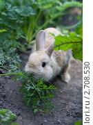 Рыжий кролик поедает укроп с грядки. Стоковое фото, фотограф Михеев Павел / Фотобанк Лори