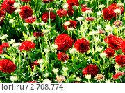 Купить «Скабиоза красная», фото № 2708774, снято 22 июля 2011 г. (c) Хайрятдинов Ринат / Фотобанк Лори