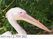 Купить «Розовый пеликан (Pelecanus onocrotalus)», фото № 2709262, снято 12 июля 2011 г. (c) Алёшина Оксана / Фотобанк Лори