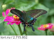 Парусник Маака ( Papilio Maackii ) на цветке циннии. Стоковое фото, фотограф Елена Семистенова / Фотобанк Лори