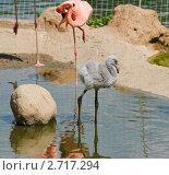 Купить «Птенец фламинго (Phoenicopterus)», фото № 2717294, снято 12 июля 2011 г. (c) Алёшина Оксана / Фотобанк Лори