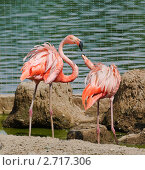 Купить «Брачные игры фламинго (Phoenicopterus)», фото № 2717306, снято 12 июля 2011 г. (c) Алёшина Оксана / Фотобанк Лори