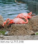 Купить «Фламинго (Phoenicopterus) на гнёздах», фото № 2717318, снято 12 июля 2011 г. (c) Алёшина Оксана / Фотобанк Лори