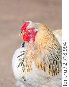 Петух на птичьем дворе. Брама светлая (Light Brahma) Стоковое фото, фотограф Алёшина Оксана / Фотобанк Лори
