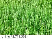 Купить «Зеленая высокая трава - летний фон», фото № 2719362, снято 11 июня 2010 г. (c) pzAxe / Фотобанк Лори