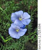 Купить «Голубой лен. Два цветка крупным планом», фото № 2725694, снято 11 июня 2011 г. (c) Светлана Ильева (Иванова) / Фотобанк Лори
