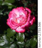 Роза, Дельбар, Франция. Стоковое фото, фотограф Елена Мумрина / Фотобанк Лори