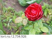Красивая роза. Стоковое фото, фотограф Марина Барышникова / Фотобанк Лори