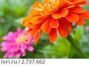 Оранжевые цветы. Стоковое фото, фотограф Олег Кириллов / Фотобанк Лори