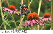 Купить «Бабочка адмирал (Vanessa atalanta) собирает нектар с цветка циннии», видеоролик № 2737742, снято 19 декабря 2010 г. (c) Андрей Некрасов / Фотобанк Лори