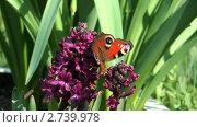 Купить «Бабочка павлиний глаз (Inachis io) собирает нектар с цветка», видеоролик № 2739978, снято 19 декабря 2010 г. (c) Андрей Некрасов / Фотобанк Лори