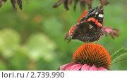 Купить «Бабочка адмирал (Vanessa atalanta) собирает нектар с цветка циннии», видеоролик № 2739990, снято 19 декабря 2010 г. (c) Андрей Некрасов / Фотобанк Лори