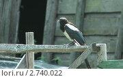 Купить «Сорока на деревянном заборе», видеоролик № 2740022, снято 6 октября 2010 г. (c) Андрей Некрасов / Фотобанк Лори