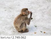 Купить «Японский макак (Macaca fuscata) ест траву», эксклюзивное фото № 2749062, снято 12 июля 2011 г. (c) Алёшина Оксана / Фотобанк Лори